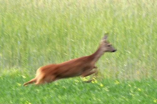 Rukkipõllule peitu jooksev metskits