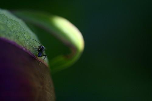 sipelgas2