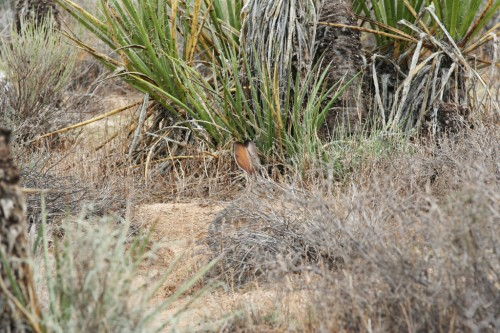 Black-tailed Jackrabbit - Peidab end