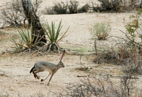 Lepus Californicus, Black-tailed Jackrabbit