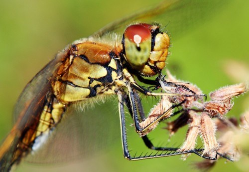 Kiil putukat nautimas - küljelt
