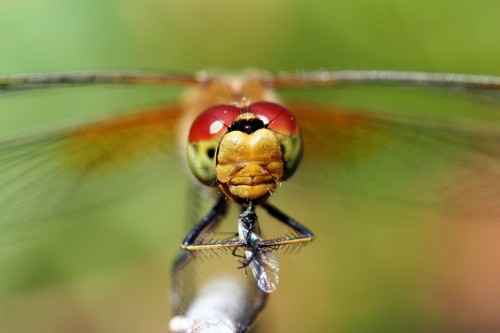 Kiil putukat nautimas