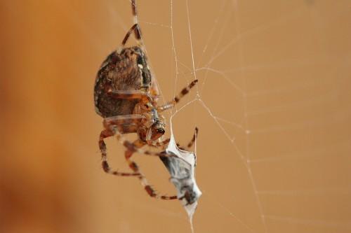 Ämblik saaki võrku mässimas