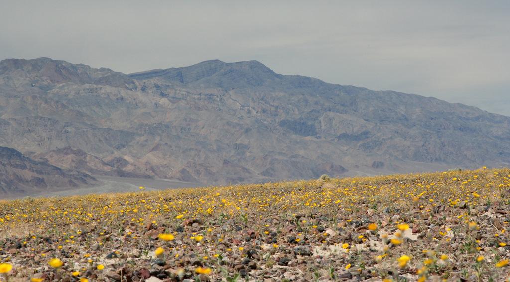 Death Valley õitseaeg