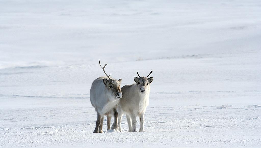 Svalbard reindeer / Svaldbardi põhjapõder