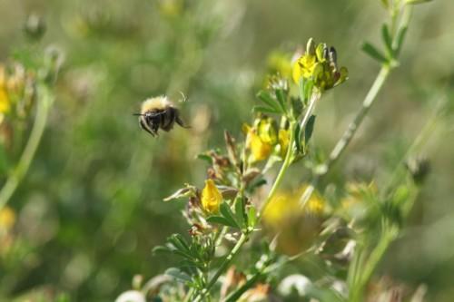 Lendav mesilane